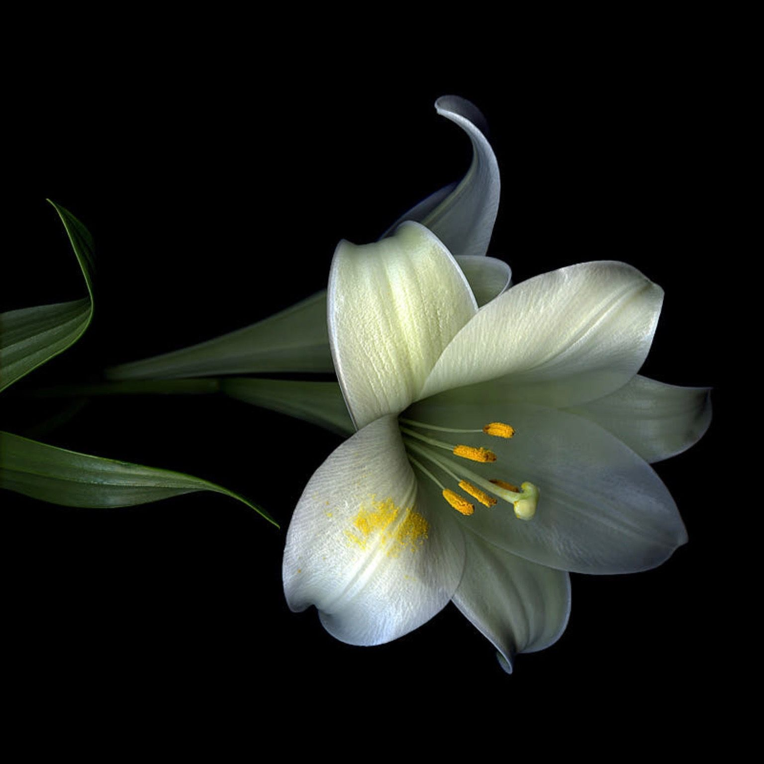 Pin by dee van wyk on allexandro pinterest flowers lily and lilium