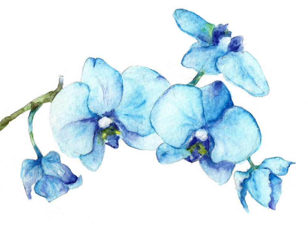 Blue Orchids Watercolor Botanical Art Sticker By Goosi White Background 3 X3 In 2020 Watercolor Flowers Paintings Orchid Drawing Botanical Art Prints