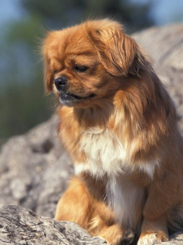 Tibetan Spaniel dog art portraits, photographs