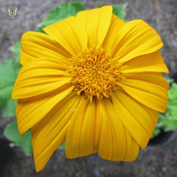 Yellow torch tithonia seeds splendidly colored yellow orange flowers yellow torch tithonia seeds splendidly colored yellow orange flowers to 3 4 in across yellow torch is the name apricot torch might have better described mightylinksfo