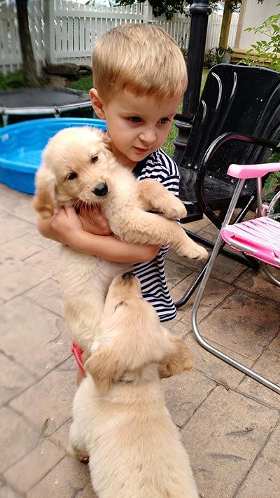 Best Golden Retriever Puppy Breeders In Ohio My Golden Retriever