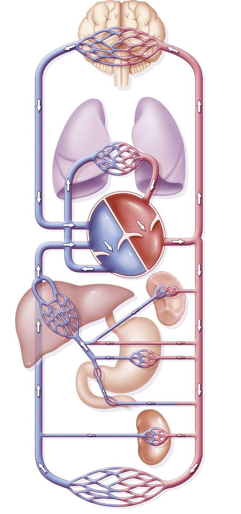 que es la circulacion pulmonar, sistema cardiovascular, Circulación ...