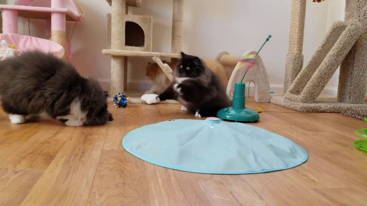 Pinstripe Wiggles Persian Kittens For Sale In 2020 Persian Kittens For Sale Kitten Gif Kitten For Sale