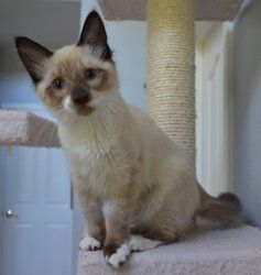 Adopt Kiss Me Kate Fostered In Davis Ca On Petfinder Baby Cats Cat Adoption Animal Lover