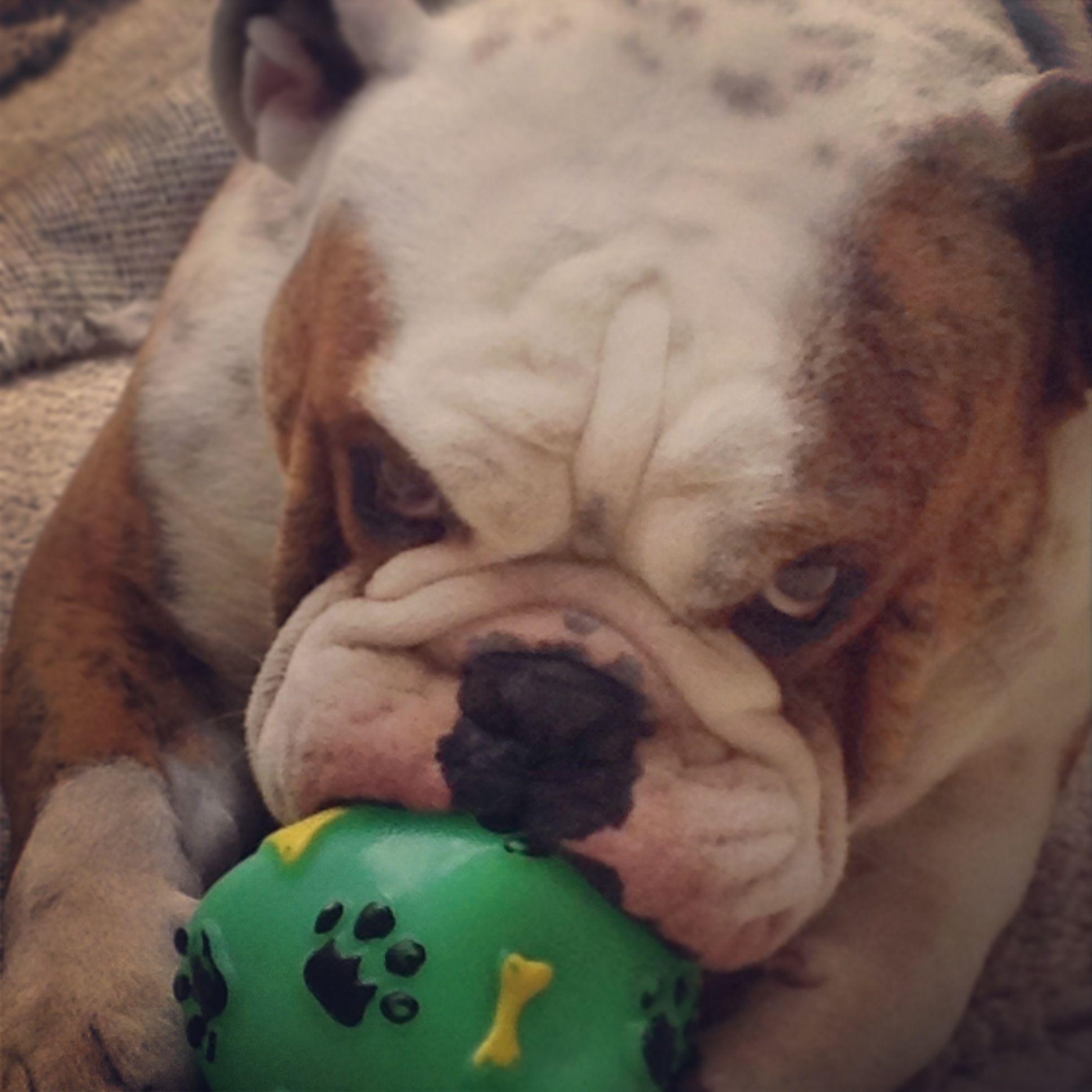 Bulldog Mi Perro