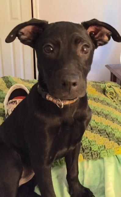 Calliope Is An Adoptable Labrador Retriever Terrier Dog In Destrehan La Calliope Is A 3 4 Month Old Lab Terrier Mix Who Weighs Dogs Terrier Mix Terrier Dogs