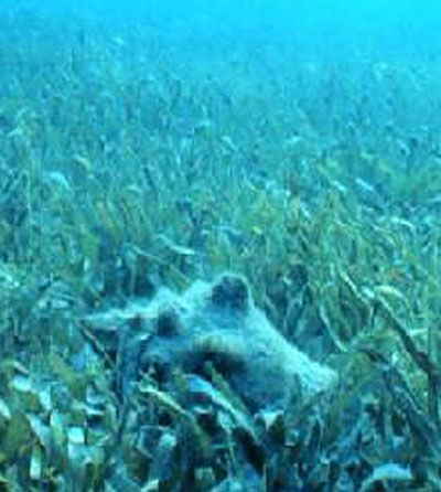 Queen Conch rests in a bed of sea grass in the Florida Keys at the Florida National Marine Sanctuary~photo:Heather Dine courtesy U.S. National Oceanic and Atmospheric Administration