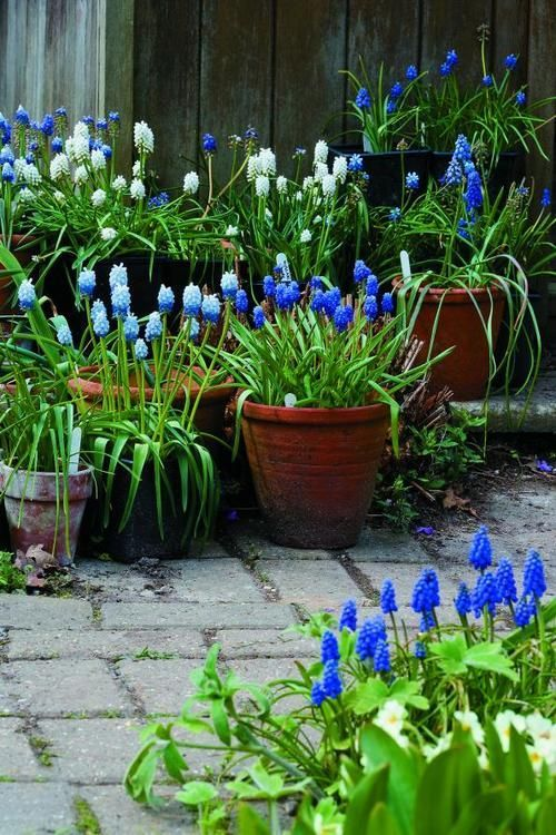 Muscari (grape hyacinth) in pots - so pretty, spring blooming ...
