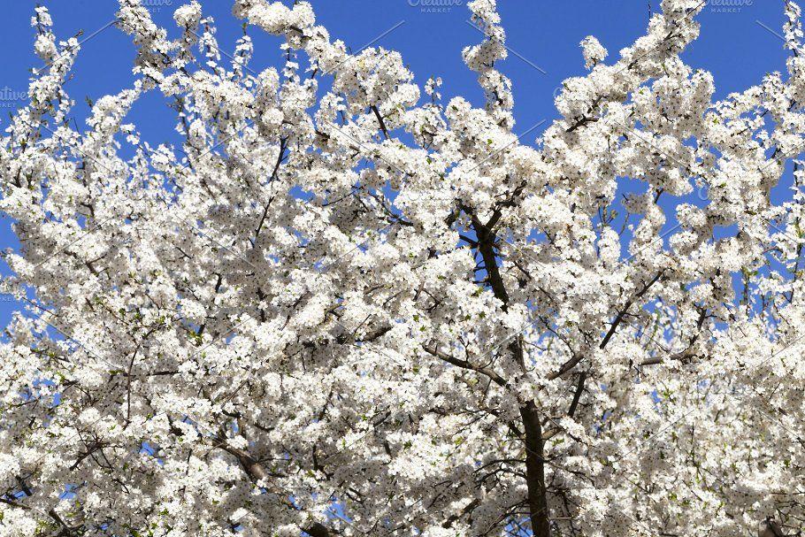 Blooming Cherry Bloom Blooming Trees Flowering Trees