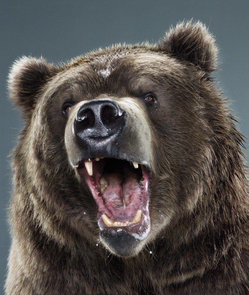 лет разъяренный медведь картинки обновление привело серьезному