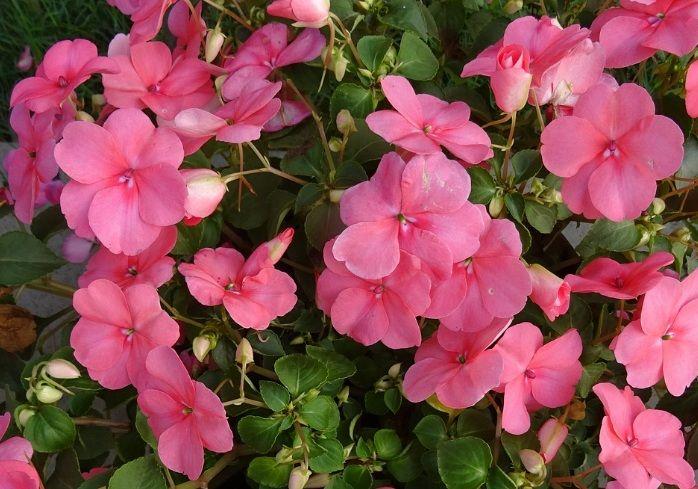 Daftar Nama Bunga Gambar Bunga Cantik Indah Unik Dan Langka Lengkap Dengan Penjelasannya Kumpulan Macam Ma Tanaman Tumpang Sari Menanam Bunga Bunga Indah