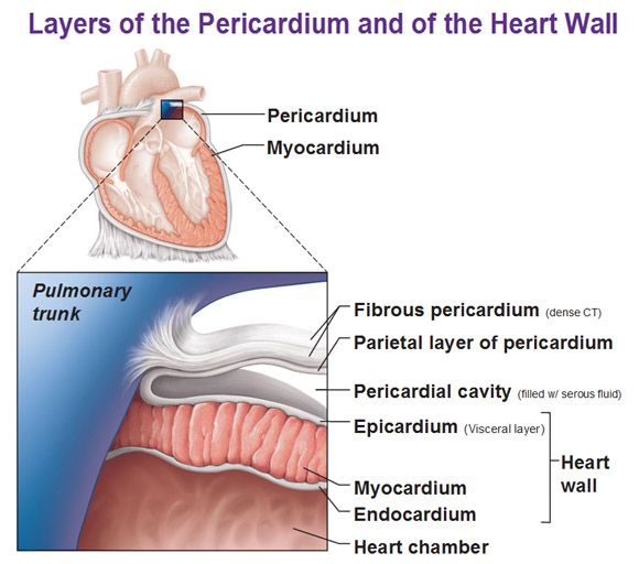 Heart diagram layers of pericardium wiring library layers of pericardium and heart wall myocardium endocardium heart rh pinterest com the fibrous layer of ccuart Image collections