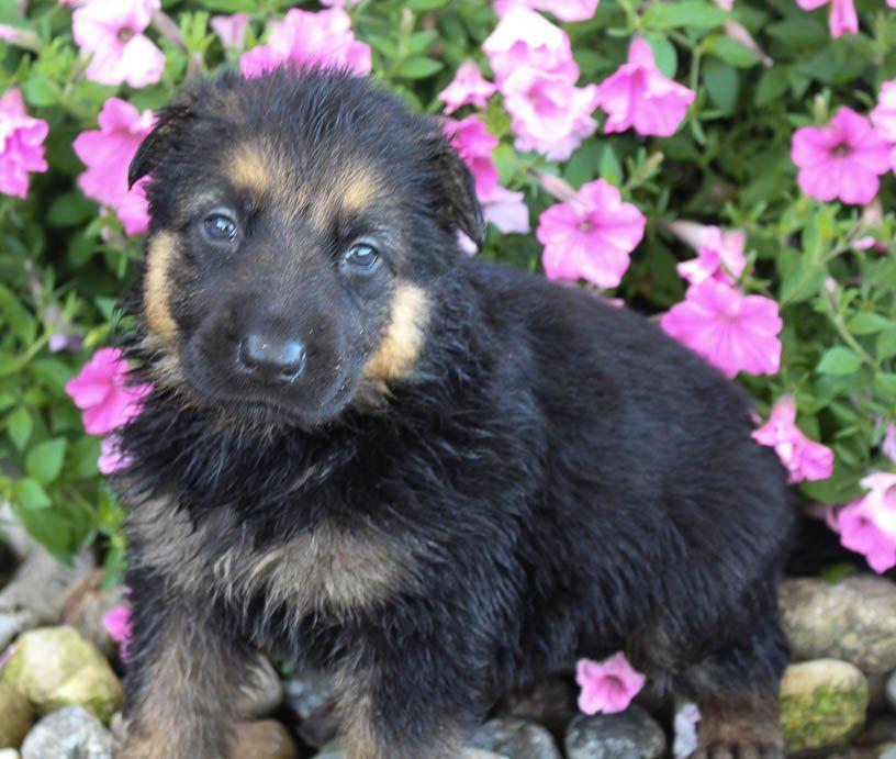Ben German Shepherd Puppy For Sale In Grabill Indiana Germanshepherd Germanshepherdpuppies Puppies White Terrier Puppies For Sale