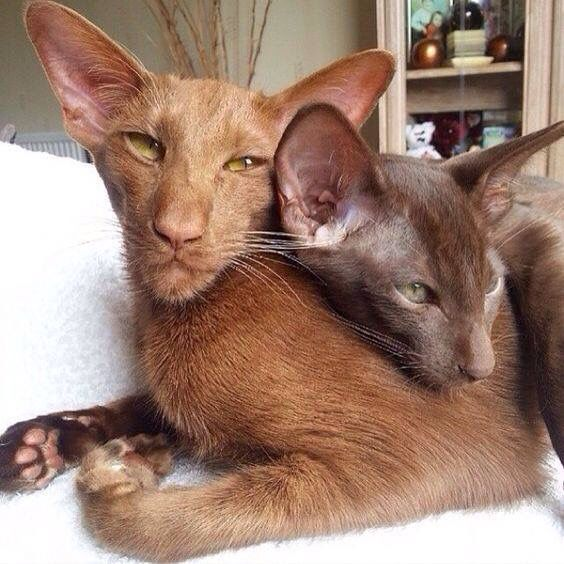 A Southeast Asian Pair Who Appear To Have A Deep Bond That Dominant Nose Lends The Brown A Frowning Stern Demeanor Oriental Shorthair Cats Pretty Cats Cats