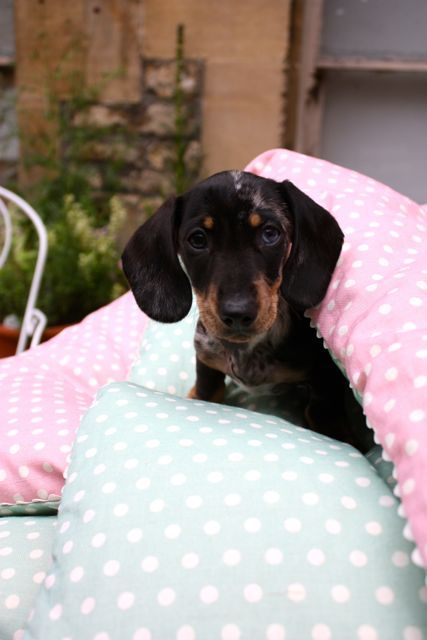 Lovely Sausage Dog In One Of Our Eiderdowns Dachshund Love