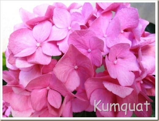 Cuidados de hortensia en maceta flores y plantas - Bambu cuidados en maceta ...