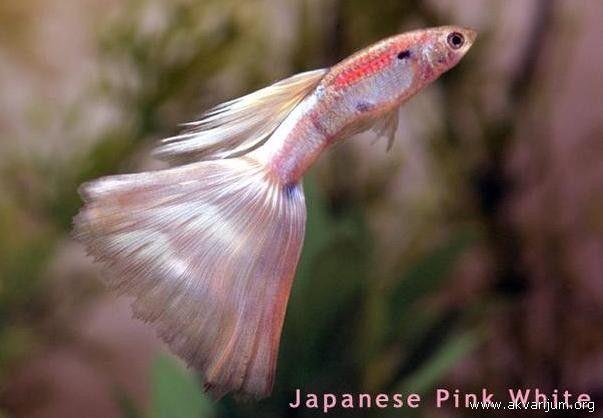 Japanese Pink White Guppy Guppy Fish Freshwater Aquarium Fish Guppy