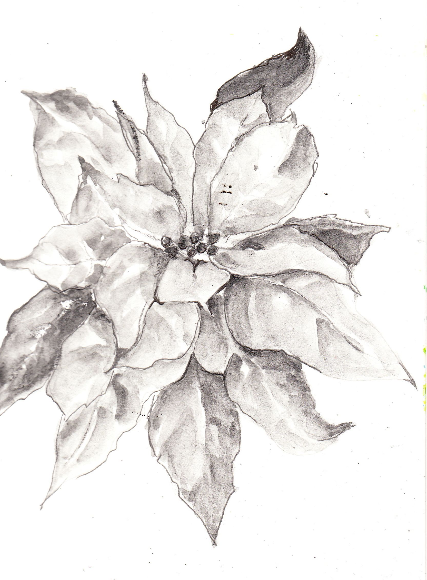 Image detail for poinsettia sketch using sketch wash