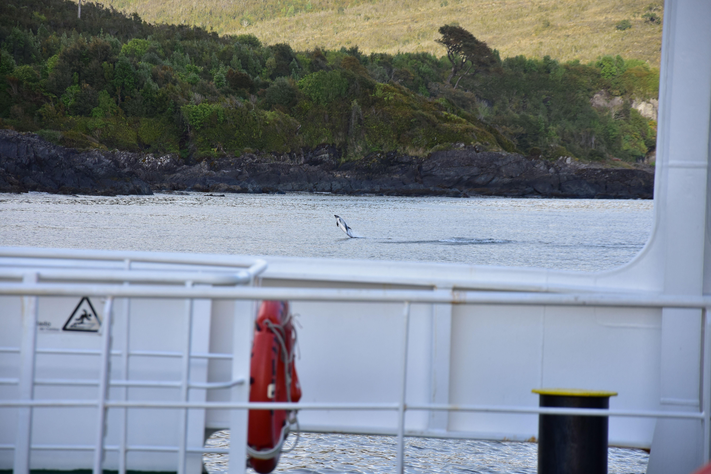 Vista de un delfín austral saltando