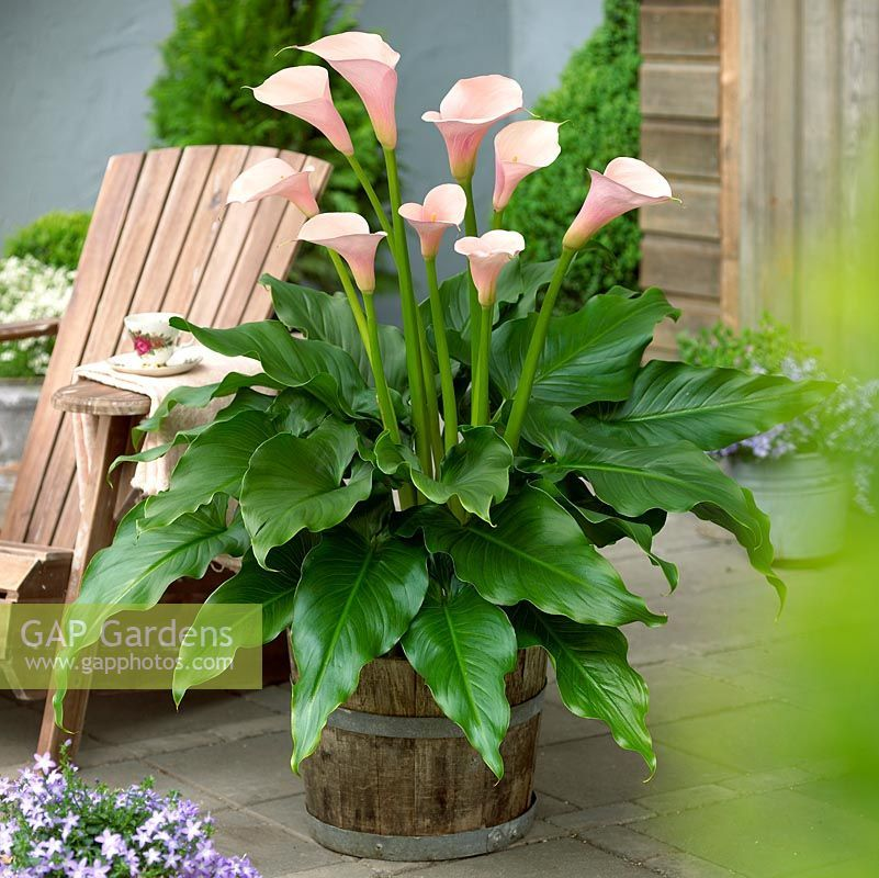 Zantedeschia aethiopica 'Flamingo' | A - Z OF HOUSE PLANTS ... on
