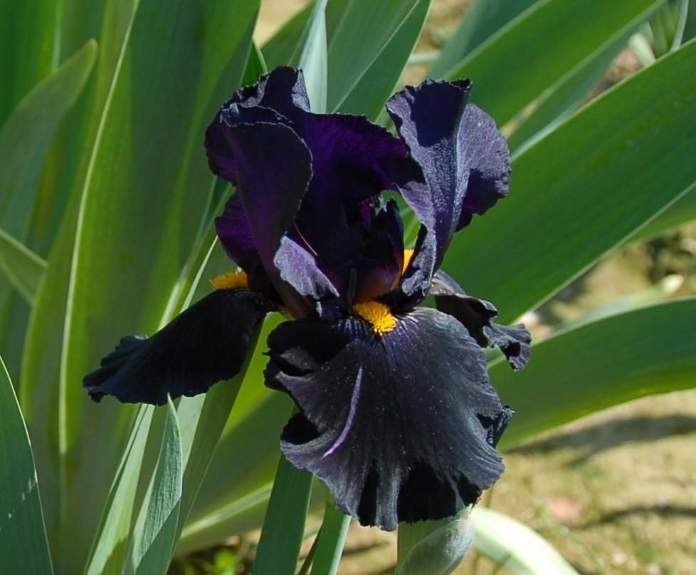Картинка черного ириса
