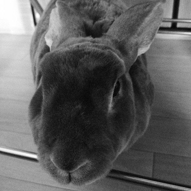 撫でる手を休ませると、首をあげて待っている。 #usagi  #usastagram  #rabbit  #bunny  #love  #minirex