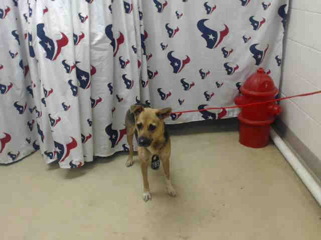 This Dog Id A466233 Urgent Harris County Animal Shelter In Houston Texas Pets Animals