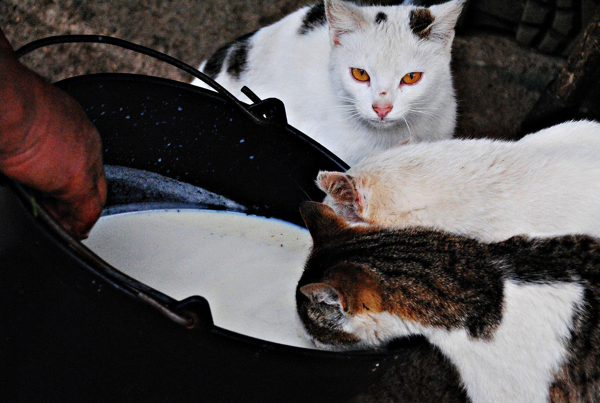 https://flic.kr/p/rWcArK | Os invito | En Bustantegua,Selaya,Cantabria. Cada día y después de ordeñar los gatitos se dan un buen banquete de leche. Su dieta ideal.