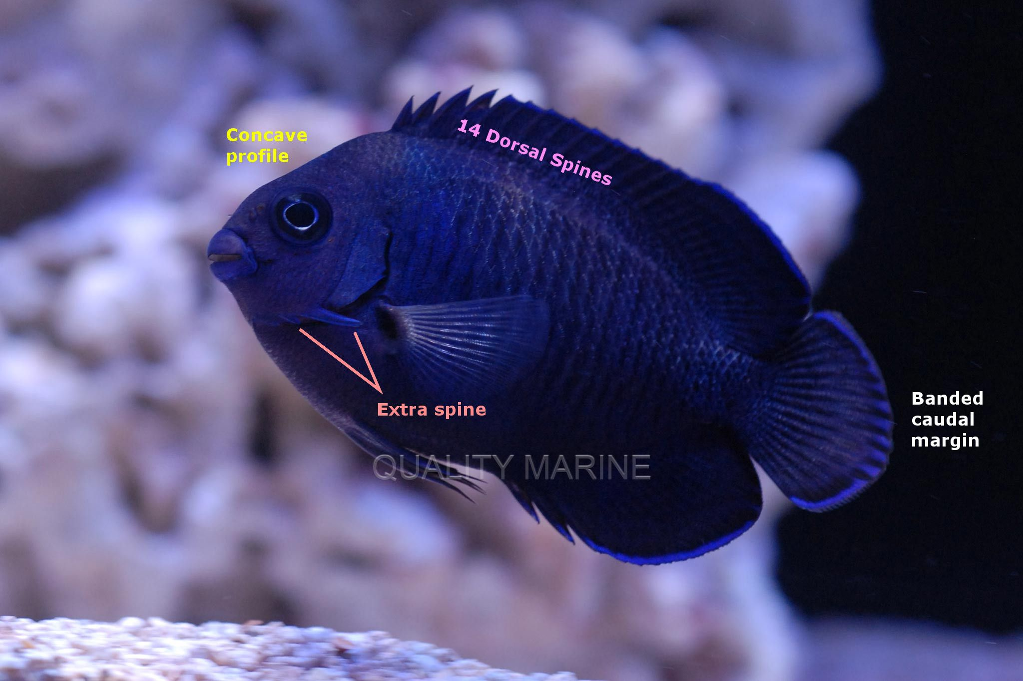 a bewilderingly blue pygmy angelfish from fiji reefs pinterest
