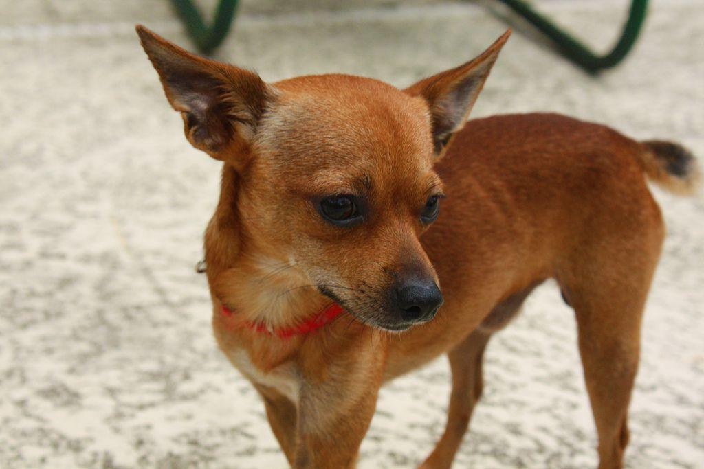 Deer Chihuahua Cute