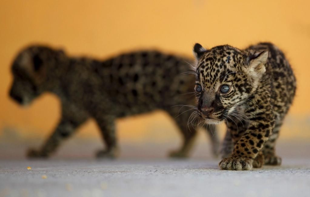 Beautiful World On Twitter Animals Jaguar Pictures Baby Animals