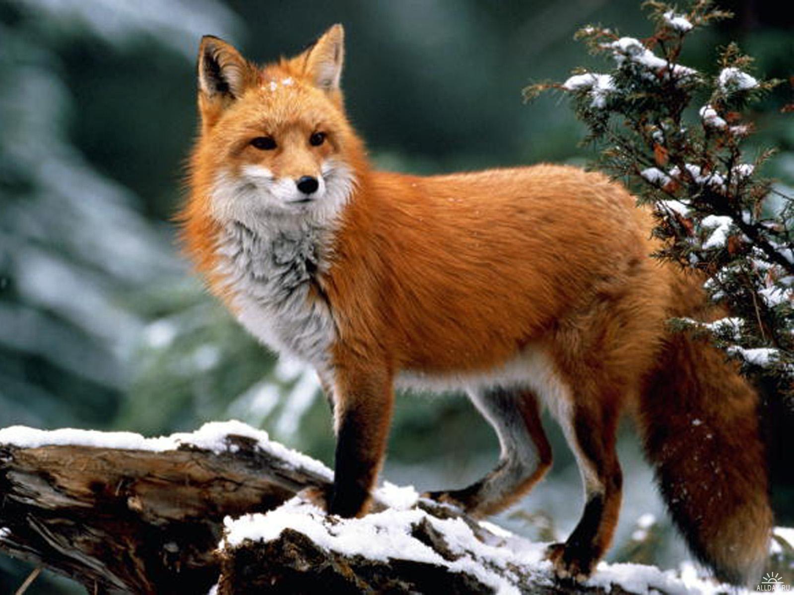 Фото лисы (с изображениями) | Лисята, Рыжая лиса ...