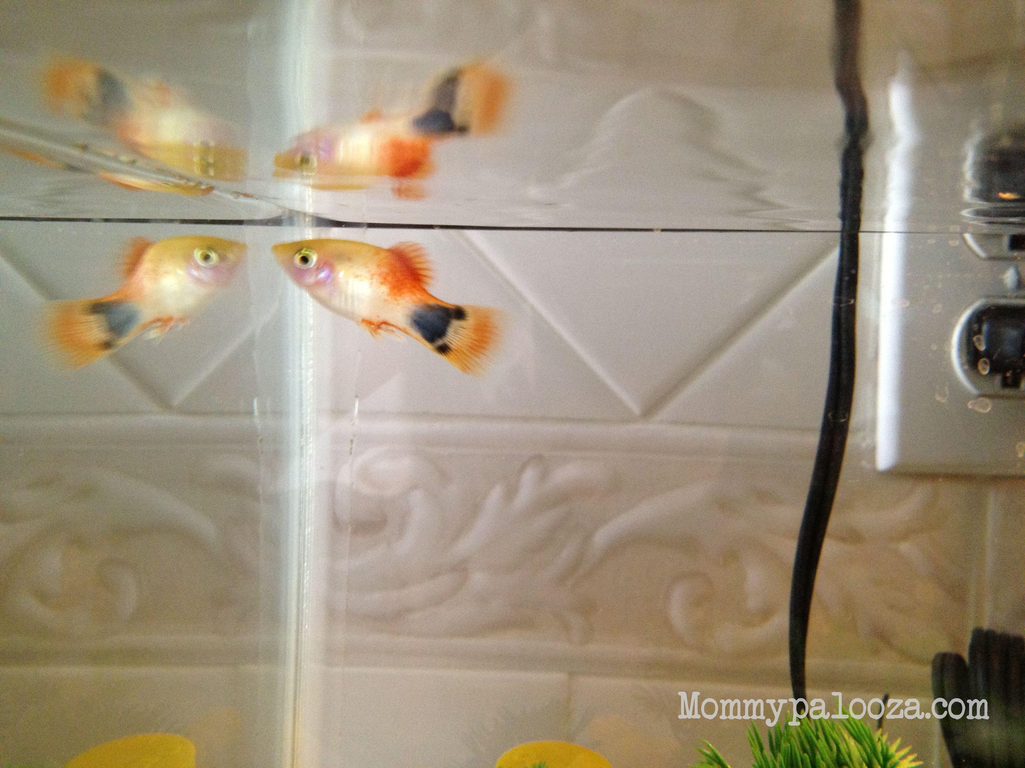 Mickey The Fish Fish Mickey Swordtail Fish