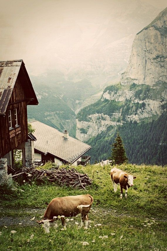 Swiss Alps Heidi Lives In That Mountain Chalet Typical Of Mountain Cabins With Cows Most Cows Have Heavy Bel Alps Pretty Places The Great Outdoors