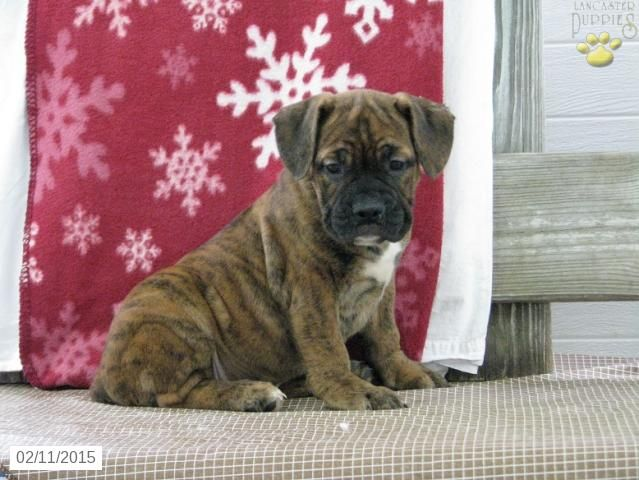 Beabull Puppy For Sale In Ohiohttp Www Buckeyepuppies Com Puppy