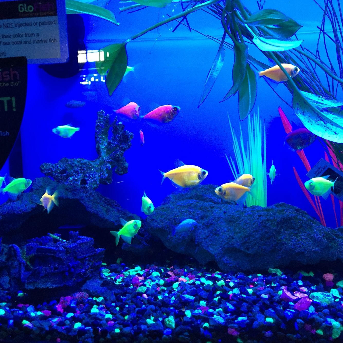 Glofish Geiser Pets Fish Aquarium fish, Fish tank