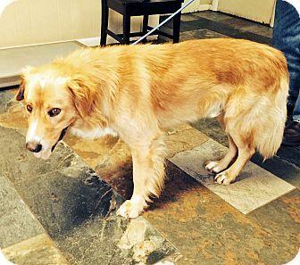 Golden Retriever Mix Dog For Adoption In Birmingham Alabama