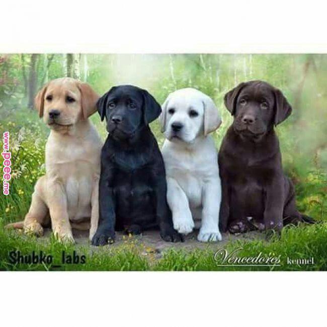 Labrador Retriever Intelligent And Fun Loving Tiere Hund Hundebabys Niedliche Welpen