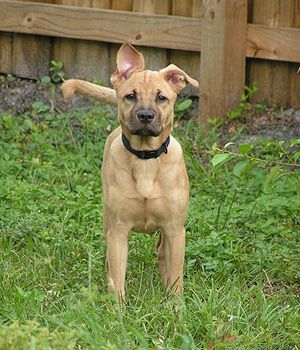 Black Mouth Cur Price Temperament Life Span With Images