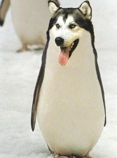 Penguin Mixed with Animals | husky and penguin mixed together More ...