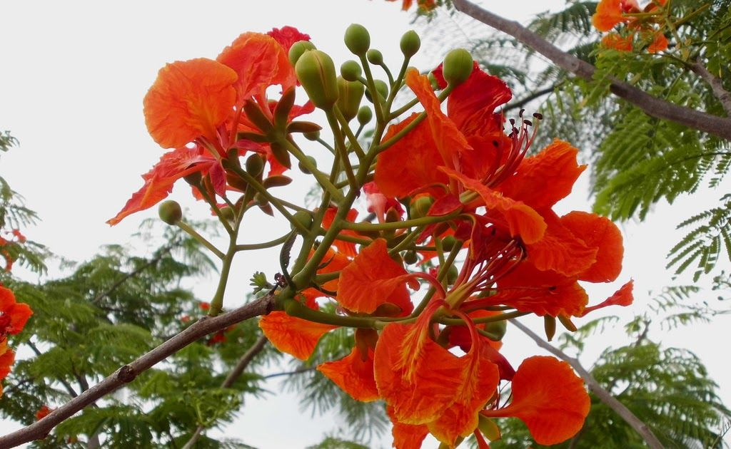 Gambar Bunga Flamboyant Benih Tanaman Bunga
