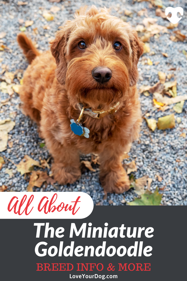Mini Goldendoodle Breed Information, Traits & Puppy Costs