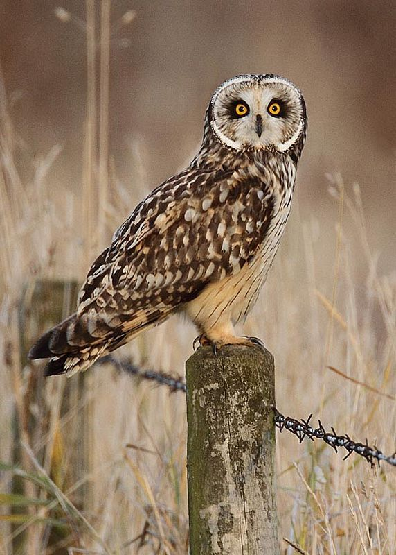 ☀Short-eared owl oct 15 by harrybursell on Flickr*