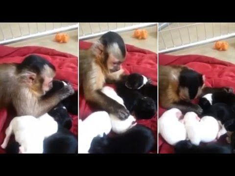 Adorable! Curious Capuchin Monkey Meets A Litter Of Puppies