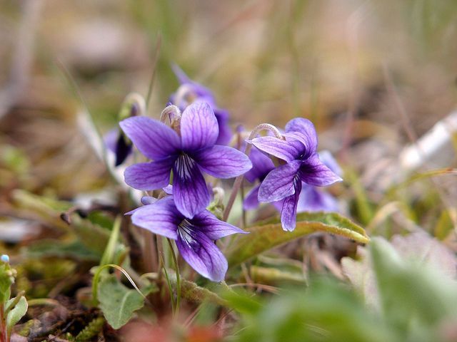 菫 スミレ全般の花言葉は、  「謙虚」「誠実」「小さな幸せ」    ※西洋での花言葉・英語 Language of flowers  「modesty(謙虚)」「faithfulness(誠実)」