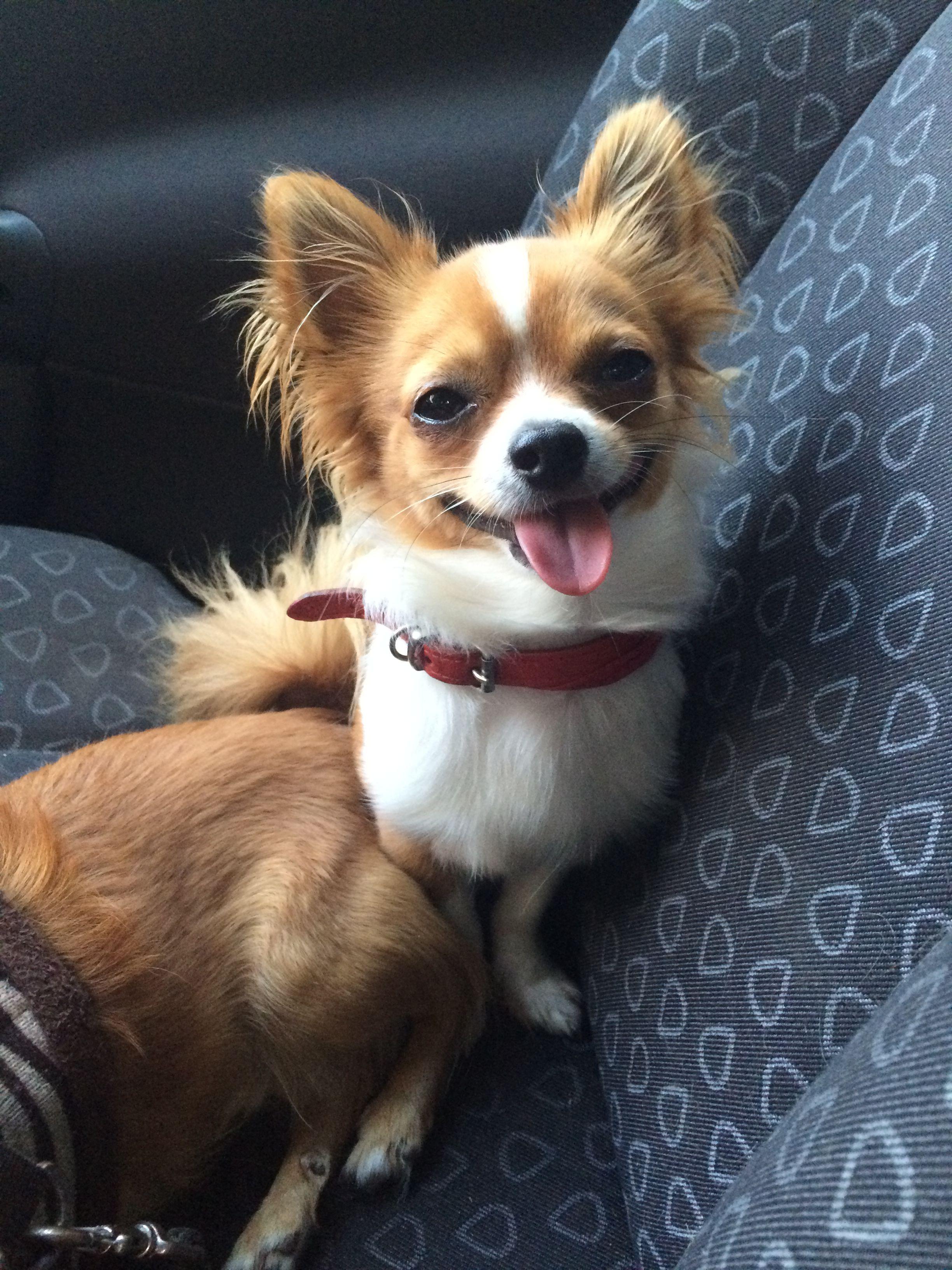 Pin Von Petra Meyer Auf Pawshake Deutschland Hunde Chihuahua Beliebte Hunderassen Susse Tiere