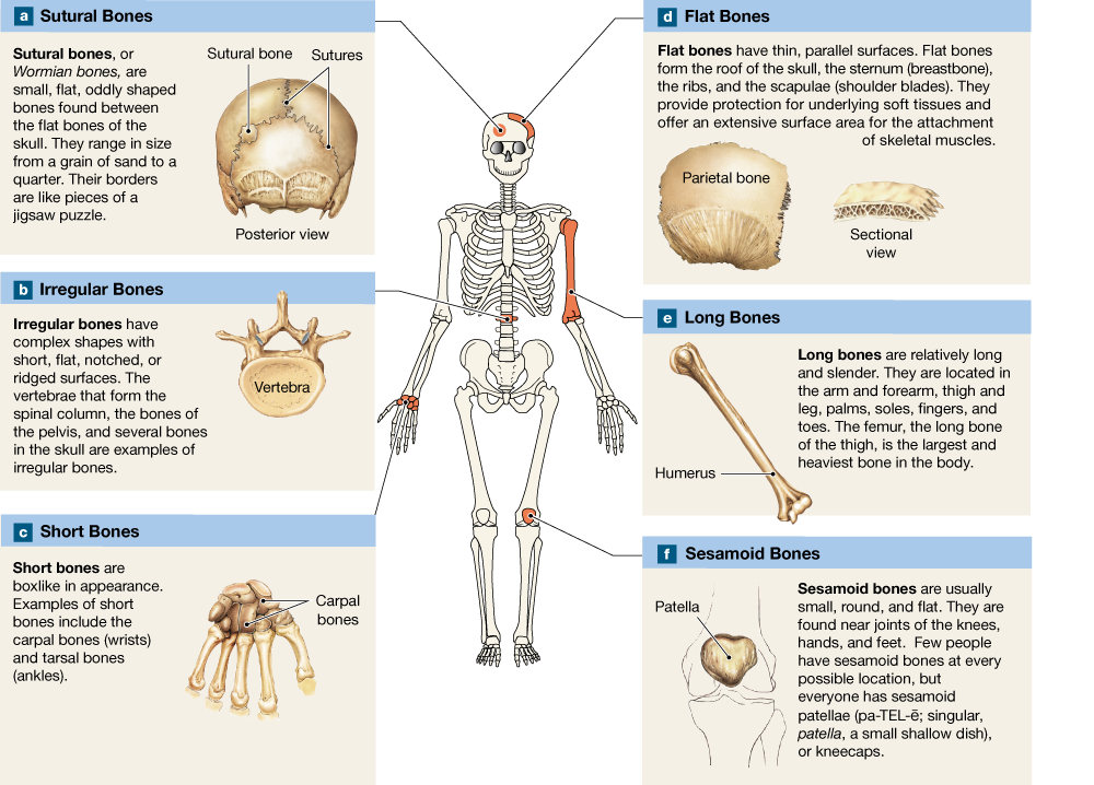 62 Bones Are Classified According To Shape And Structure And They