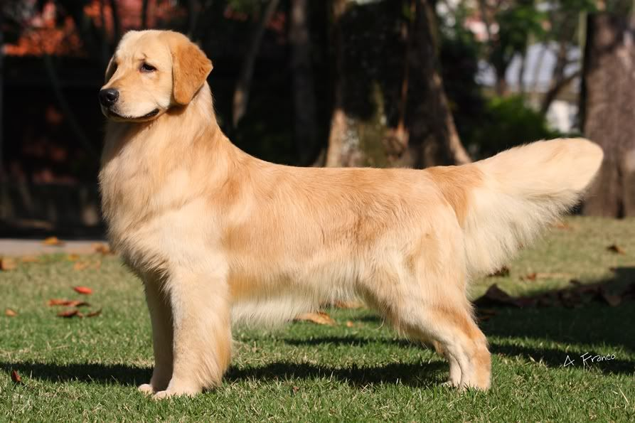 Pin On Goldens