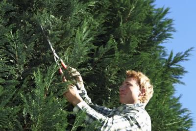 When How To Prune Fertilize Leyland Cypress Trees