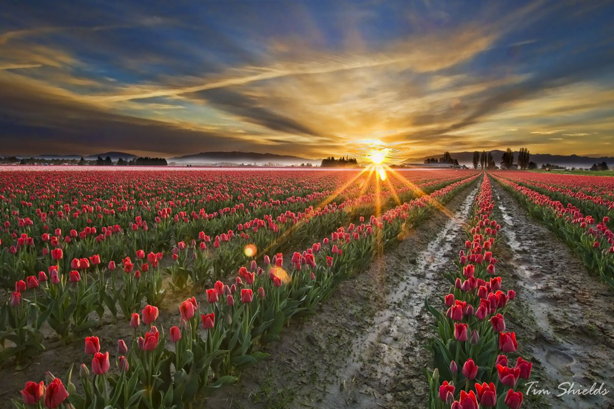 Sun-ray-tulips_6154-S.jpg | alicia | Pinterest | Tulip fields and ...